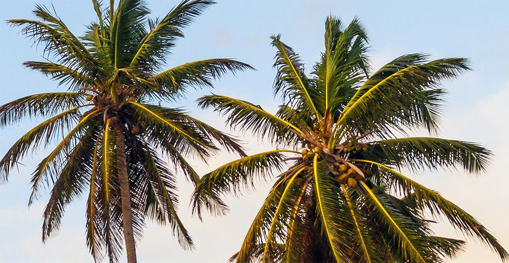 Cesta ke kokosovému oleji začíná na kokosové palmě