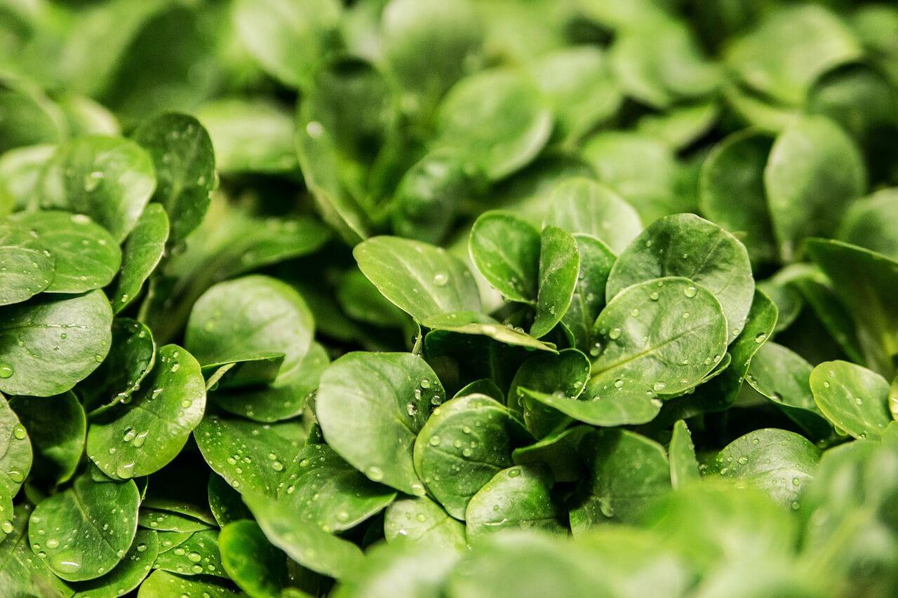 I obyčejný salát je zelenou potravinou