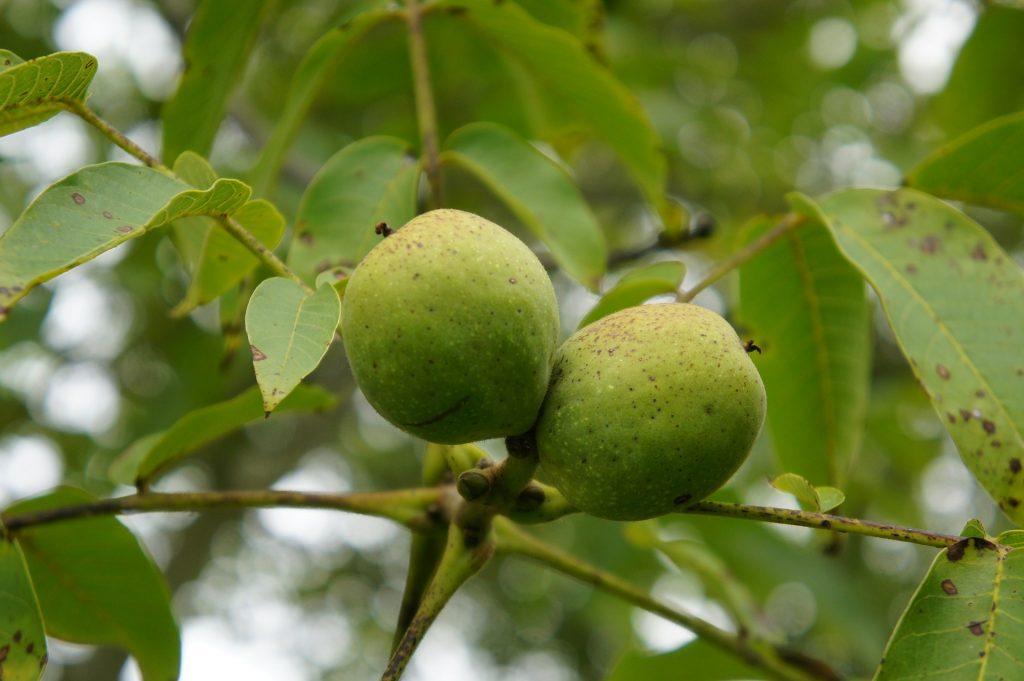 Plody ořešáku, vlašské ořechy